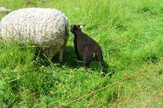Lammetje dichtbij moeder