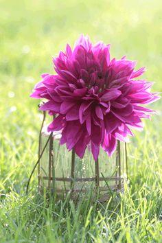 42 best big blooms images on pinterest in 2018 most popular dahlia dinnerplate thomas edison cut flowerspurple flowersspring mightylinksfo