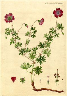 Flora danica MCVII