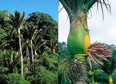 Nīkau palms grow to about 10 metres tall. Their large leaves are up to 3 metres long and 2 metres wide, made up of many spiky fronds. Nīkau (Rhopalostylis sapida) grow in lowland forests throughout the North Island and in coastal areas of the northern South Island, and on the Chatham Islands.
