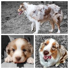 Aggie- red Merle male
