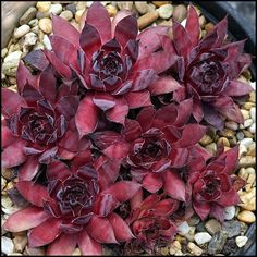 Sempervivum 'Darline' Hens And Chicks, Cactus, Gardening, Plants, Lawn And Garden, Plant, Planting, Planets, Urban Homesteading