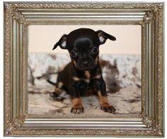 #Chihuahua Breeders NH Chihuahua  http://nhchihuahua.com/available.html