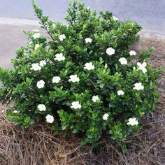 Get fabulous fragrance in early summer and year-round evergreen foliage with our Dwarf Radicans Gardenias! Shrubs For Landscaping, Garden Shrubs, Shade Garden, Farmhouse Landscaping, Landscaping Design, Small Shrubs, Trees And Shrubs, Flowering Trees, Dwarf Flowering Shrubs