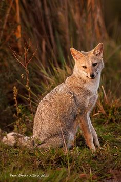 ARGENTINA - zorro de la patagonia