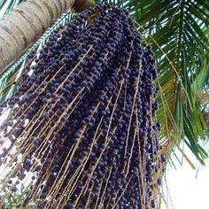 Açaí: is a Brazilian fruit which is a type of berry that grows on the Açaí palms trees and is native to the Amazon region rich in antioxidants and nutrients naturally. In Brazil people also are using the açai oil against diarrhea and to make infusions against fever.