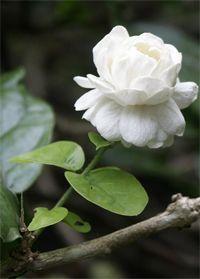 Jasmin d'Arabie - Le jasmin d'Arabie fait partie des nombreuses plantes médicinales impliquées dans la médecine traditionnelle ayurvédique, cette plante est un anesthésiant très efficace pour soulager des douleurs occasionnées par des fractures ou des blessures, mais aussi dans les maux de dents et les maux ... http://www.complements-alimentaires.co/wp-content/uploads/2015/08/jasmin_d_arabie_Jasminum_sambac.jpg - Par Nathalie sur Compléments alimentaires  #Lespl