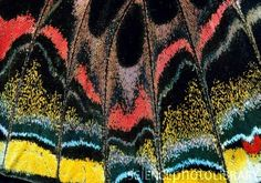 Closeup of the wing of a butterfly, Protboe calidonia, showing its arrangement of wing scales. The scales are attached to the wing membrane by short stalks, which fit into tubular sockets. The colour of the wing is determined by the pigmentation of the scales and also by diffraction of light off the surface of each scale. Photo credit: Claude Nuridsany & Marie Perennou/ Science Photo Library