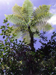 Fern tree Tapanti, Orosi, Costa Rica