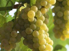 Rebsorte Chardonnay