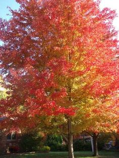 Sienna Glen Maple Acer Freeman A Fast Growing Hardy With Uniform Branching And Pyramidal Form