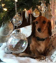 Baby Dachshund, Doxie Puppies, Dachshunds, Doggies, Be My Baby, My Baby Girl, Christmas Dachshund, Best Friends For Life, Rainbow Bridge