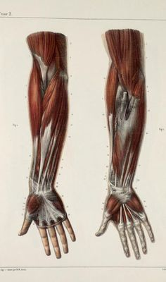 Muscle Anatomy: Arm and Hand Muscles Arm Anatomy, Gross Anatomy, Muscle Anatomy, Anatomy Study, Anatomy Art, Anatomy Reference, Hand Reference, Human Anatomy Drawing, Human Body Anatomy