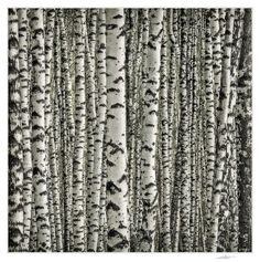 Once again about the birch. Photo by Andrey Borisov...birch pattern of lines and color