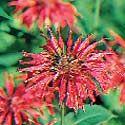 Edible Flowers  - monarda didyma - citrus flavor