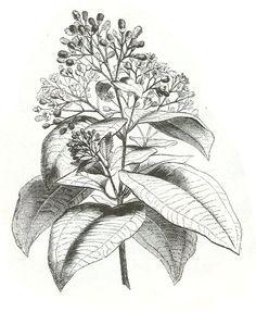 Canela (Cinnamomum zeylanicum) (descripción,propiedades medicinales, recetas con…