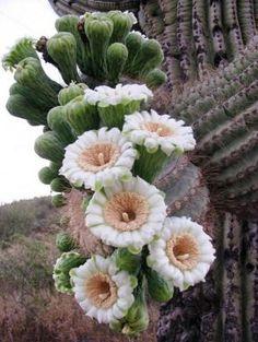 saguaro cactus flowers // Las sorprendentes flores de las Suculentas