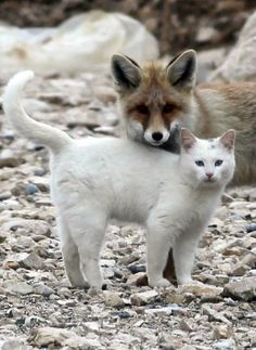Near Lake Van, Turkey, a Turkish Van cat and a fox are best friends. See how they play and cuddle in this endearing photo series (10 photos) of this very unusual friendship between two animal species http://www.traveling-cats.com/2013/11/cat-from-lake-van-turkey.html