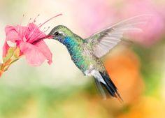 hummingbird pink lily in 35 Beautiful Hummingbird Pictures
