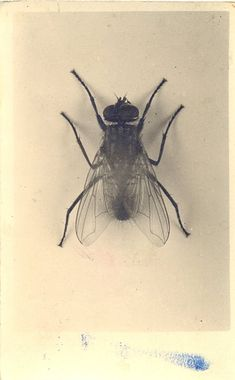 the black fly, a pest amongst pests, but I used to enjoy catching them when I was little, and gently playing with them. I thought they were cute, because they were furry. LOL. They were 4th in line of spontaneous animal playpals. Top of the list was frogs, then red efts, then snakes, then flys.  ~ETS