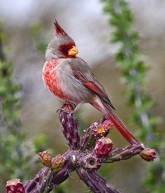 Pyrrhuloxia Cardinalis sinuatus