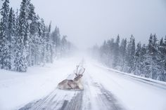 Reindeer heating up - Here's a shot of reindeer heating up in the roads of Lapland.
