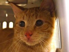 NYC TO BE DESTROYED Friday, 04/24/15 **KITTEN** SQUEAKER was brought in by a good semeratian who kept a stray litter in their home until they were old enough to be adopted. Squeaker lived in a room with other cats, is litter trained & uses a carpeted scratching post. NH Only. ID #A1033644. Male org tabby about 8 MONTHS old. OWNER SUR reason stated was TOO MANY P. https://www.facebook.com/nycurgentcats/photos/a.994636727220981.1073742664.220724831278845/994636950554292/?type=3&theater