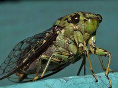 Ağustos böceği, taş kadar sertleşmiş bu plakları çalarak o çok iyi bilinen sesini çıkarır. Plak, bağlı olduğu kas tarafından çekilip bırakılınca, boş bir teneke kutunun çıkardığı sese benzer bir ses oluşur