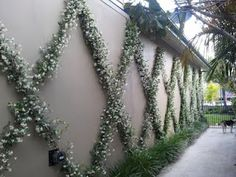 Star Jasmine and Border this is what we are doing in our garden