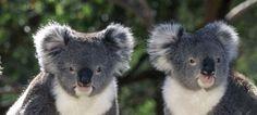animales de australia - Buscar con Google Bear, Google, Animals, Animales, Animaux, Bears, Animal Memes, Animal, Animais