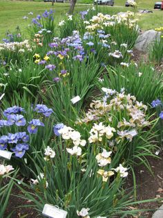 Instructions for care and division of bearded and siberian irises.