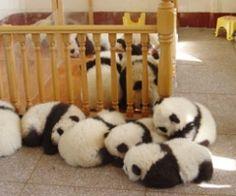 aww baby panda's