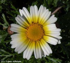Chrysanthemum coronarium http://estrechoverde.wordpress.com/2012/05/06/plantas-del-mes-de-abril-mayo/