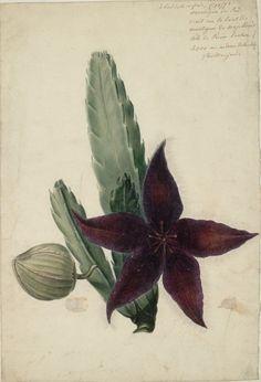 Botanical Illustration of a Peruvian Flowering Cactus