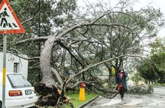 Heavy overnight winds blew down this tree which in turn knocked down a second tree on Market Street. Two Trees, Knock Knock, Cool Photos, Street, Walkway
