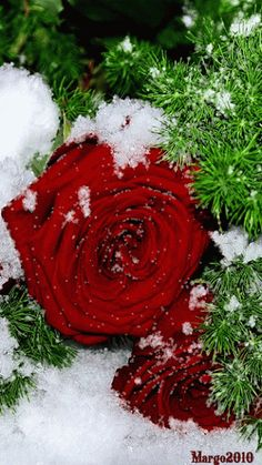 An animated gif. Make your own gifs with our Animated Gif Maker. Beautiful Rose Flowers, Beautiful Flowers Wallpapers, Beautiful Gif, Love Flowers, Merry Christmas Pictures, Merry Christmas And Happy New Year, Pictures Of Jesus Christ, Amazing Gifs, Winter Rose