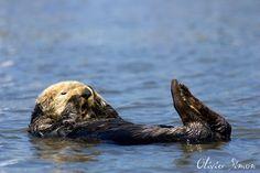 Sea otter by Olivier SIMON, via 500px