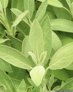 Sage: Bloat-Reduction Tea: Sage can tackle a nagging cough or monthly feeling of bloat. If you tend to gain a pants size during your monthly cycle, banish the bloat with homemade sage tea.  ~~Sage Tea ~~  Boil 1/3 teaspoon of dried or fresh sage in a cup of water and strain; drink three or four times a day when you're bloated.