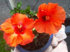 Plants, Hibiscus, Gardening, Plant, Planting, Planets