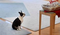Lennu the First Dog of Finland staring at Christmas treats Pretty Men, Derp, Christmas Treats, I Love Dogs, Finland, Picture Video, Boston Terrier, Cute Pictures, Cute Animals