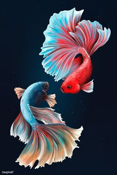 Betta fishes on a midnight blue background design resource | premium image by rawpixel.com / Te Fish Drawings, Cute Drawings, Animal Drawings, Betta Fish Tattoo, Aggressive Animals, Sea Drawing, Coy Fish, Fish Varieties, Eagle Vector