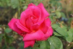 Maria Callas - Ludwigs Roses | Large, shapely blooms. Rich carmine-pink, vigorous, healthy & neat growth. A good performer.