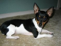 Maggie, a tri color Toy Rat Terrier.looks like Cookie when she was a baby Rat Terrier Puppies, Toy Fox Terriers, Terrier Dog Breeds, Pet Breeds, Cute Dogs And Puppies, Baby Puppies, Pet Puppy, Dog Breeds Pictures, Dog Pictures