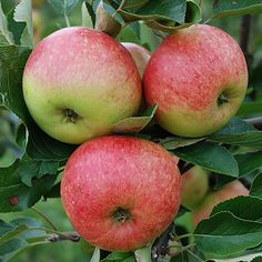 """Apple tree """"James Grieve"""" on pot tall Apple Tv, Apple Garden, Dwarf Trees, Apple Varieties, Fruit Picture, Rose Family, Variety Of Fruits, Fruit Plants, Deciduous Trees"""