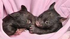 Baby Wombats at Healesville Sanctuary