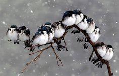 pájaros en una rama durante una tormenta de nieve