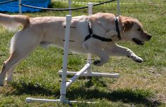 Agility Fun!  Kessler shows off.  Agility class is fun for students and dogs!