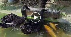 Inacreditável. Vídeo apresenta dois cisnes a alimentar os peixes do lago.