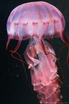 Pink Jellyfish,I'm styling! Underwater Creatures, Underwater Life, Ocean Creatures, Beautiful Sea Creatures, Animals Beautiful, Costume Meduse, Pink Animals, Beautiful Fish, Pretty Fish