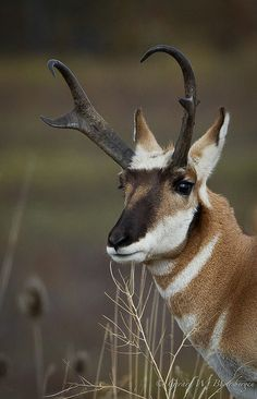 A fine looking Pronghorn Antelope as photographed in Montana's National Bison Range.
